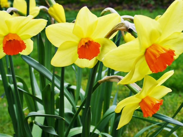 Daffodils in Wales