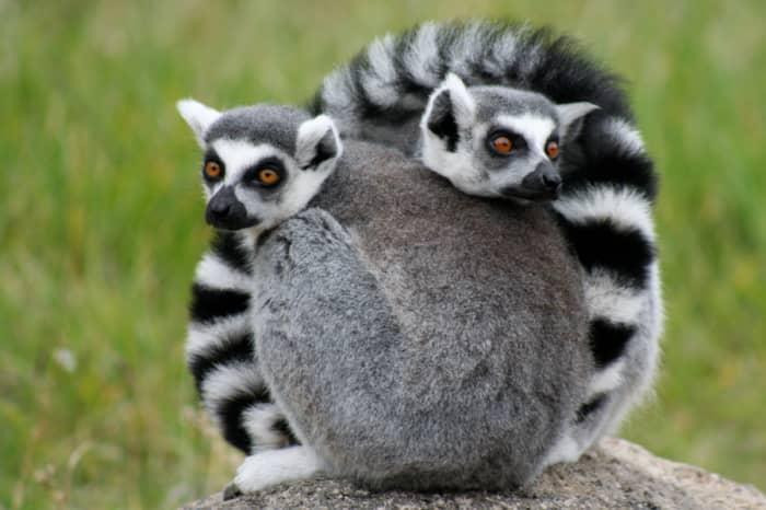 Ring tail lemurs