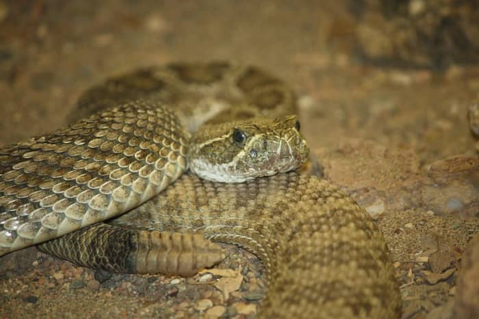 Prairie Rattlesnake at the Louisville Zoo.