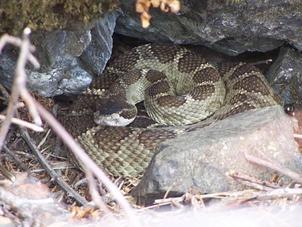 Timber Rattlesnake found in natural habitat.
