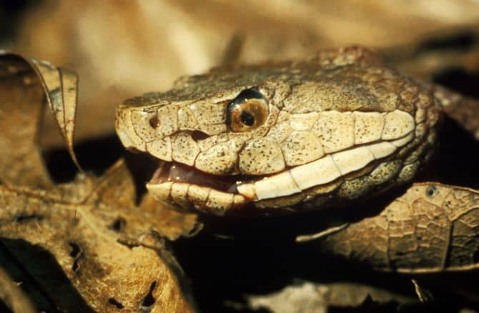 A closeup of the Copperhead's intricate facial features.