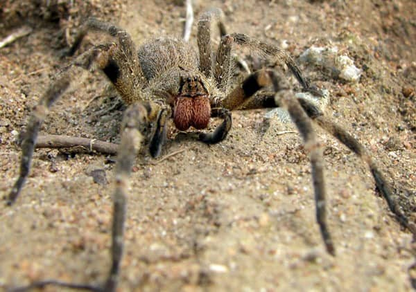 """Phoneutria or """"the armed spider."""""""