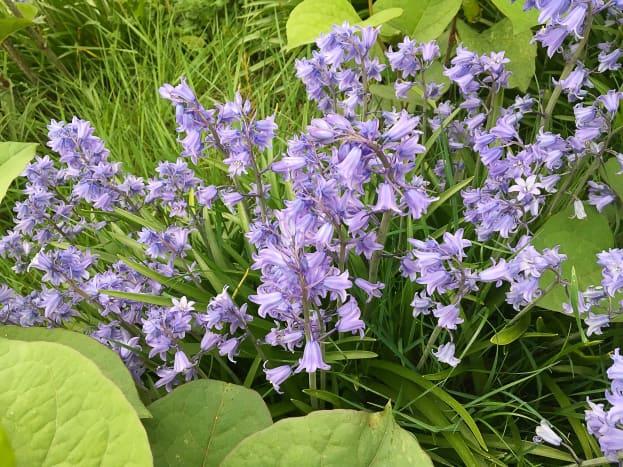 Bluebells and Japanese knotweed leaves