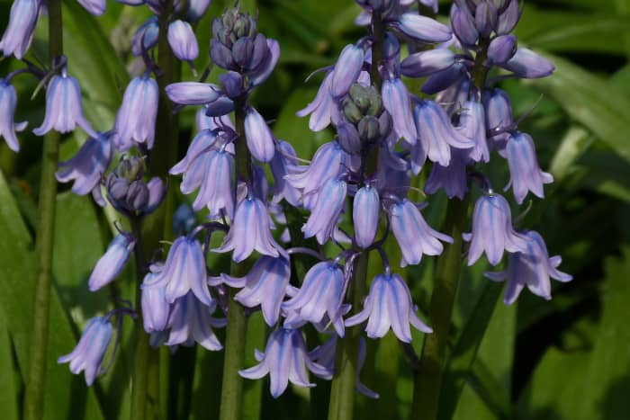 A Spanish bluebell