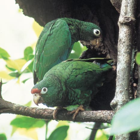 A pair of Puerto Rican parrots.