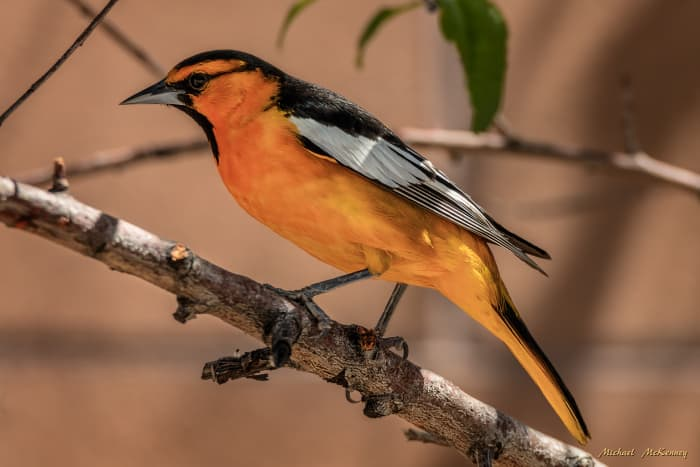 An adult male Bullock's oriole is flame-orange and black with a white wing patch and a very neat black line running through the eye area.