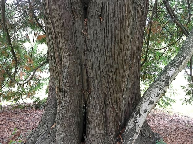 Bark of the western red cedar