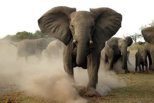 A Charging elephant can crush anything so easily with it's massive body...