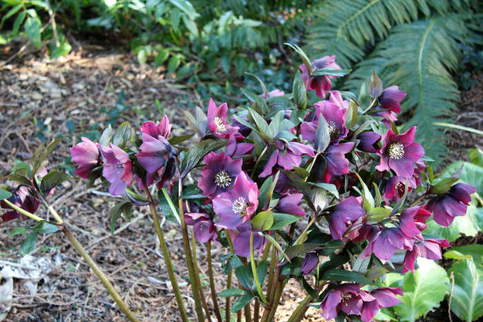 These hellebores were growing in a landscaped area beside a golf course.