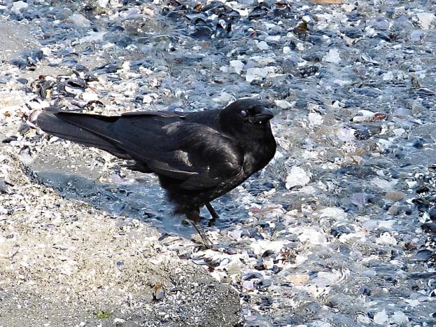 A northwestern crow in Stanley Park