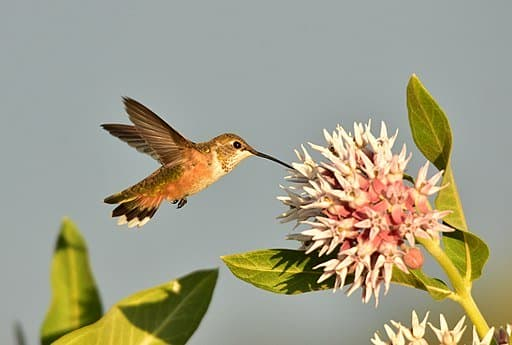 Rufous Humming Bird on Seedskadee National Wildlife Refuge pollinating flowers