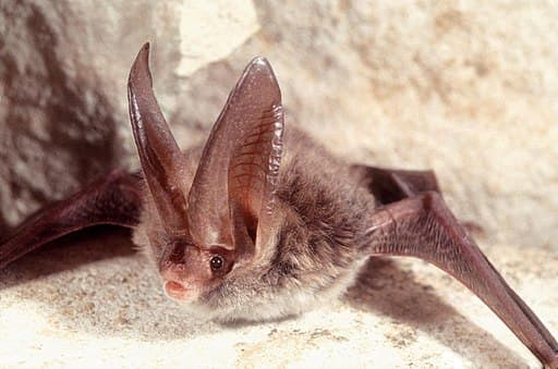 Adult Rafinesque's big-eared bat rests on a cave wall. Bats are one of nature's many pollinators for flowers and crops and are crucial in production for fruits and vegetables.