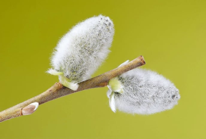 Male catkins of Salix caprea before the stamens are visible