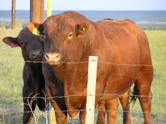 Beefalo standing in front of an Angus cow.