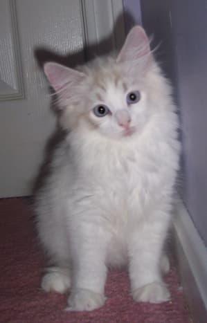 Ragdoll kitten, doing her best impression of a blonde skunk hybrid.