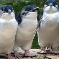 fairy-penguins