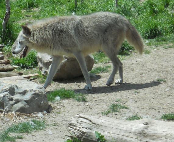 Gray Wolf in Yellowstone