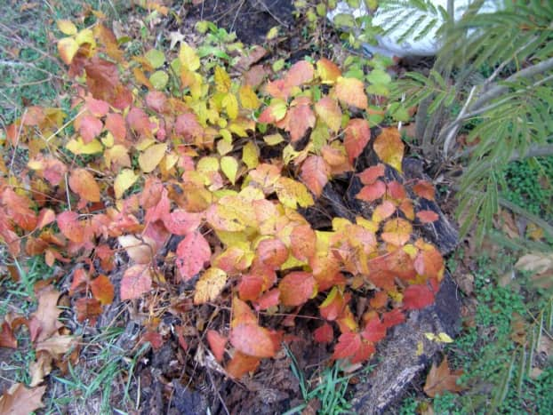 Poison Ivy in the fall season.