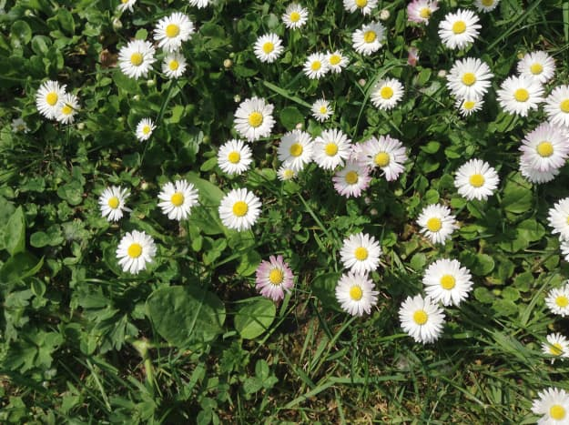White and pink common daisies