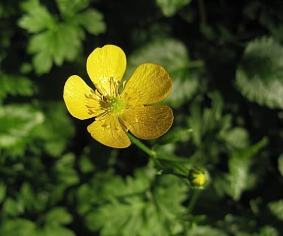 A yellow buttercup flower in July