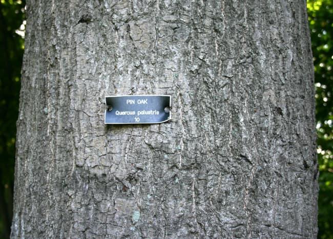 Pin Oak Bark