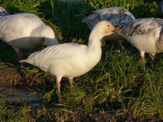 The white form of the snow goose is entirely white except for black wingtips and some pale grey on the back.