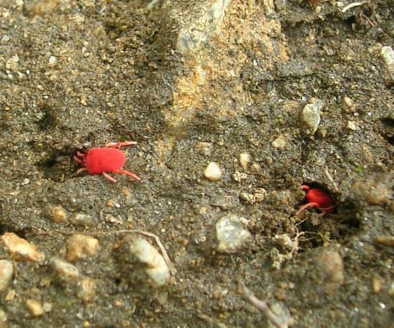 Red Velvet Mites, from Munsiyari, the Central Himalayas, India