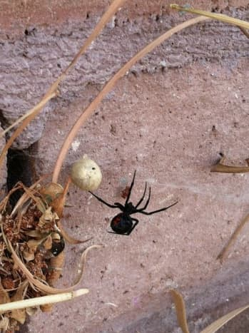 Despite their fearsome reputation, widows are timid and will usually run away rather than bite if they feel threatened. The only exceptions are when the female is guarding her eggs, or when the spider is pinched or feels squashed.