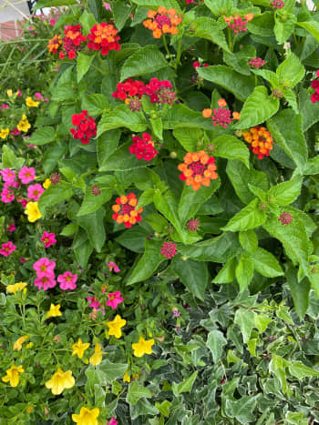 My lantana plants are aromatic and require very little maintenance. They are gorgeous and resistant to most of the common garden pests and diseases, something most gardeners find important. (Zones 7–11)