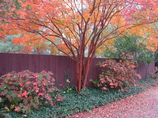 In the fall, a crepe the leaves of a crepe myrtle tree change from yellow to orange to red. What a gorgeous addition they could be to your yard.