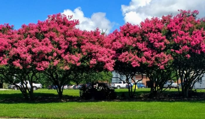 A row of crepe myrtle trees in full springtime bloom on the campus of the University of Louisiana, pruned to allow an open area beneath them.