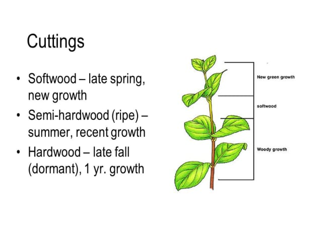 This graphic shows you where and when to cut your crepe myrtle.