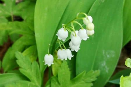 All parts of a lily of the valley plant are toxic, especially the flowers and the fruits.