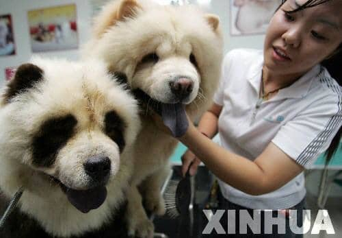 A chow and his panda brother.