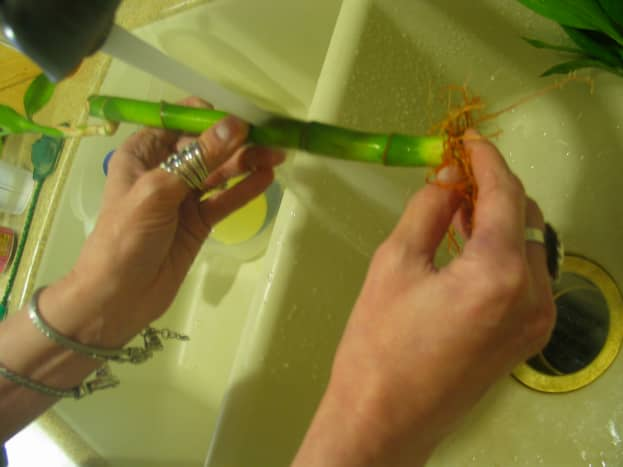 Clean the bamboo with your fingers. Be careful of the roots.