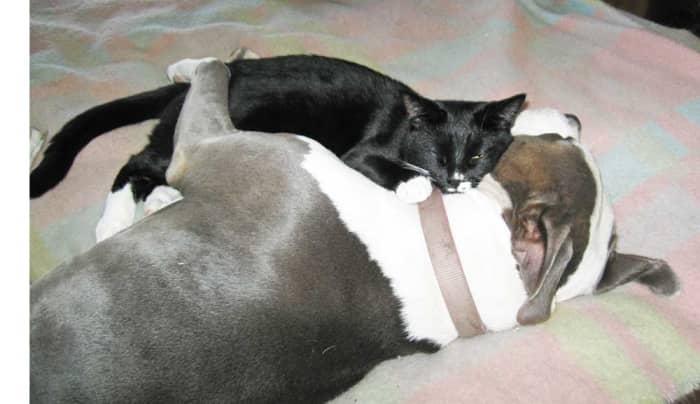A cat using a pit bull as a pillow