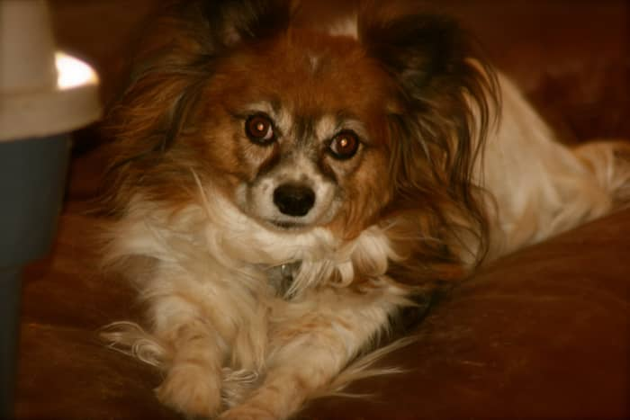 The Papillon who owns me.