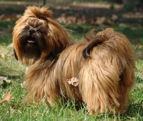 The Shih Tzu coat is long but clean and does not tend to spread allergens.