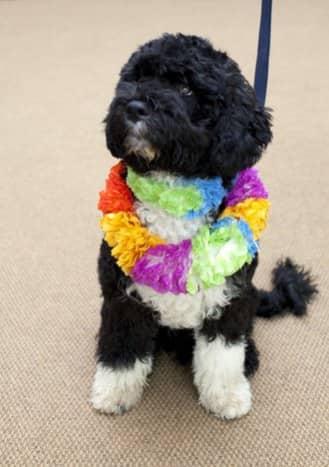 This is Bo, President Obama's dog
