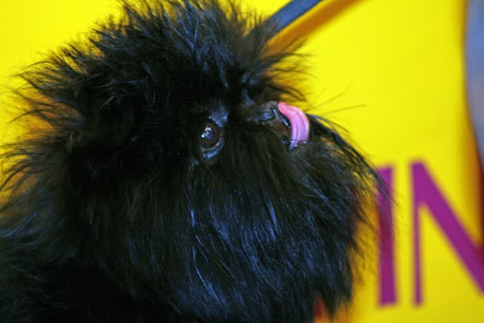The Affenpinscher, a skilled ratter and all-around farm dog, is beyond adorable.