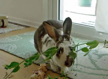 Try giving your rabbit long pea vines to play with and eat. They will toss them around!