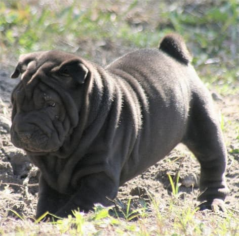 The Shar Pei is one of the best medium-sized guard dogs.