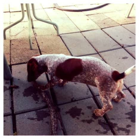 Red Piebald Dachshund playing outside