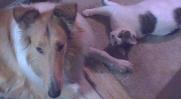 My collie and companion