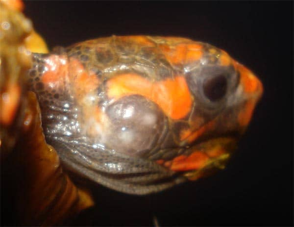 Ear Abscess on a Red-Footed Tortoise