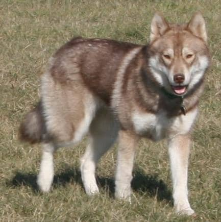 A dirty-faced red Siberian