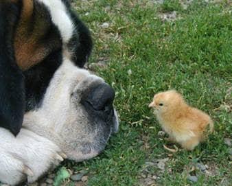 A St. Bernard with a friend.