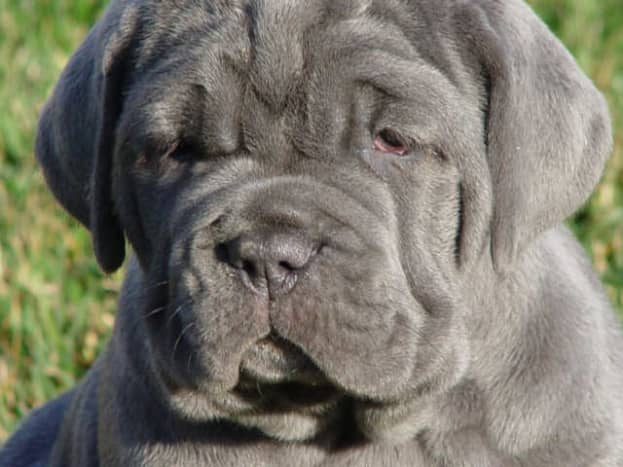 A Neopolitan Mastiff puppy.