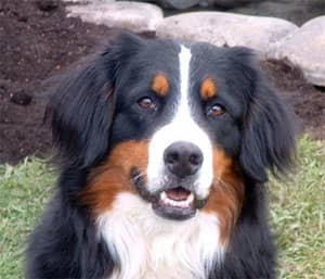 An adult Bernese Mountain Dog.