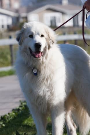 A Great Pyrenees dog.
